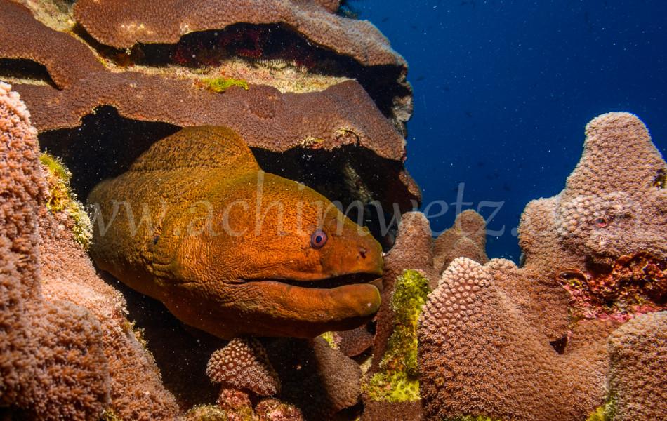 Great Barrier Reef-Mouray Eel 9873
