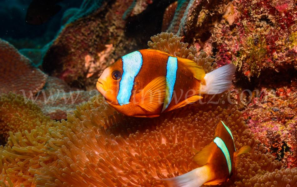 Great Barrier Reef-Clownfish 9950