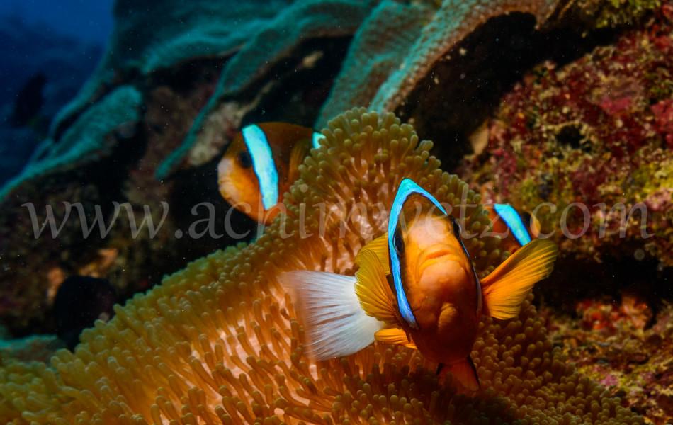 Great Barrier Reef-Clownfish 9953
