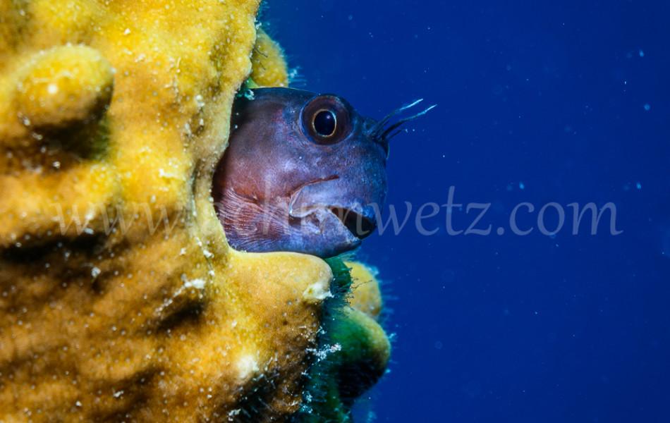 Great Barrier Reef-Blenny 9996