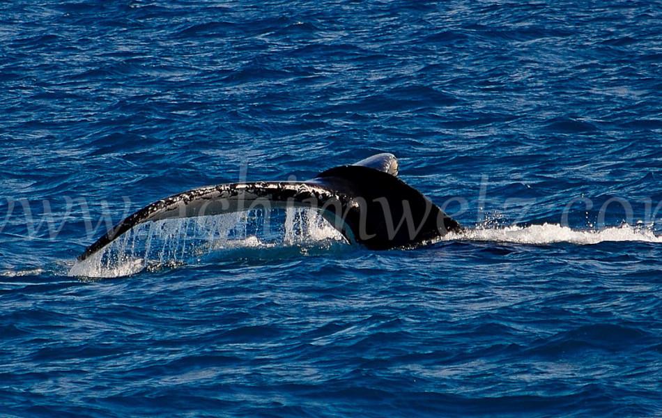 Humpback Whale 1170