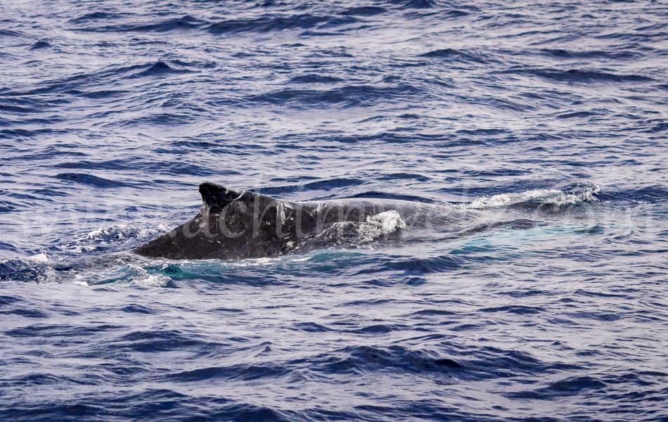 Humpback Whale 2605