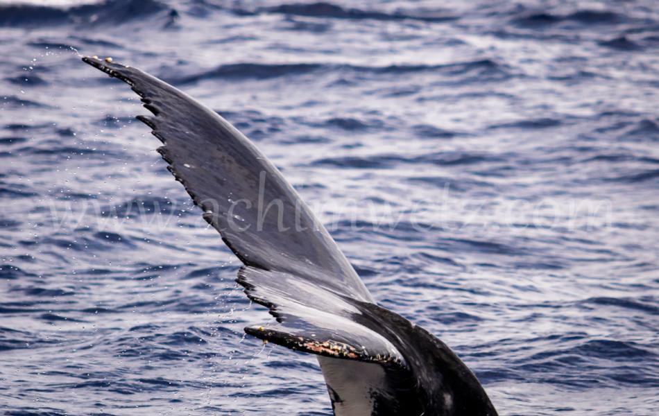 Humpback Whale 2608