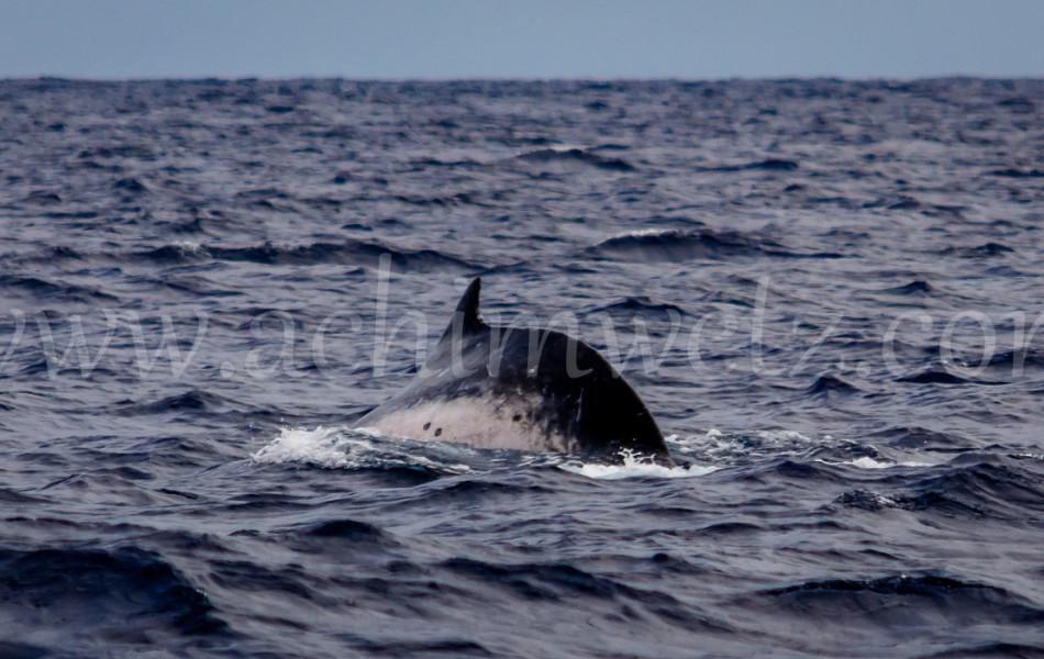 Humpback Whale 2614