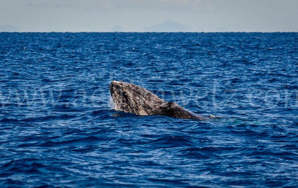 Humpback Whale 2775