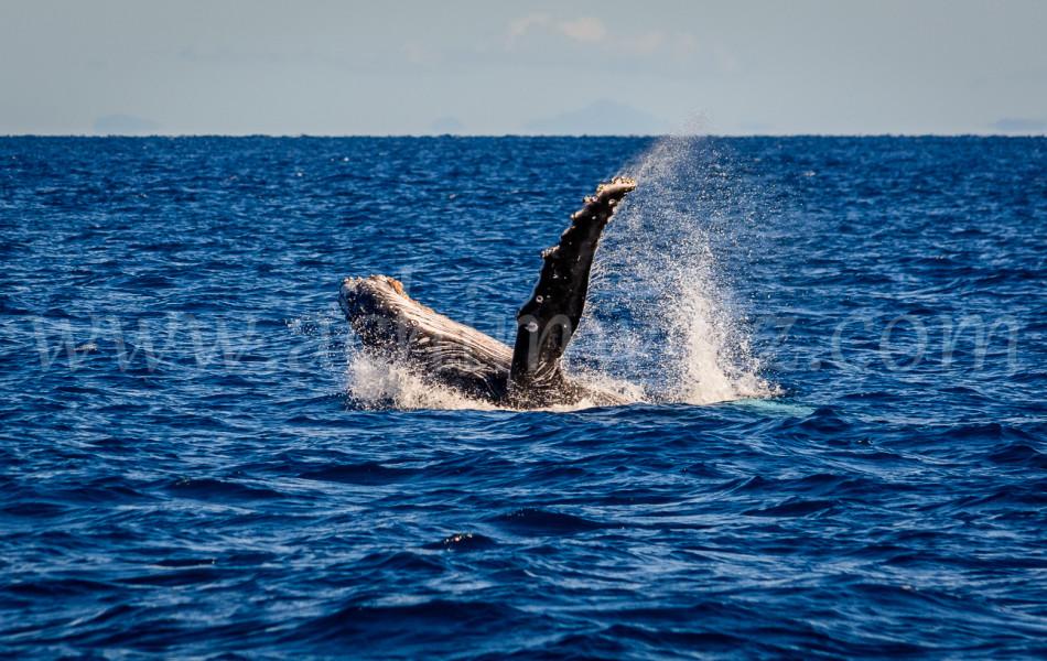 Humpback Whale 2777
