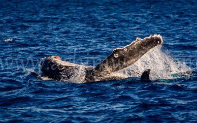 Humpback Whale 2784