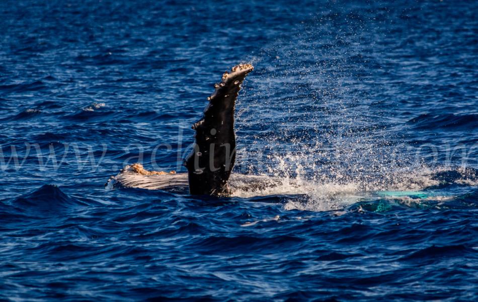 Humpback Whale 2785