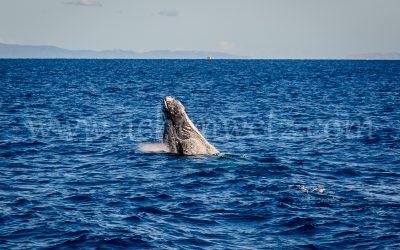 Humpback Whale 2790