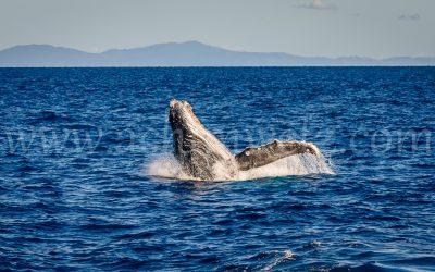 Humpback Whale 2800