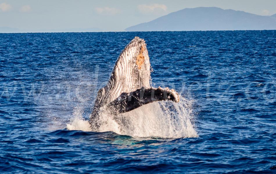 Humpback Whale 2807