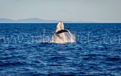 Humpback Whale 2815