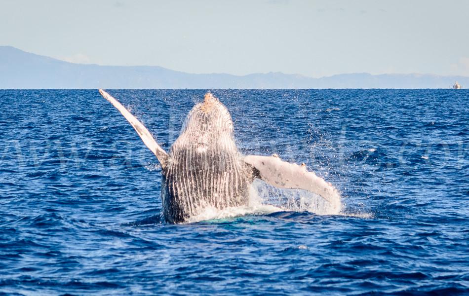 Humpback Whale 2825