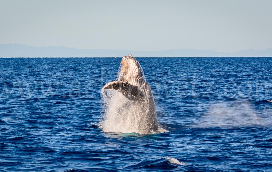 Humpback Whale 2839