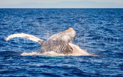 Humpback Whale 2846