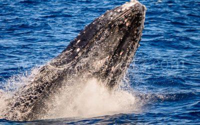 Humpback Whale 2848
