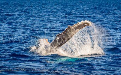 Humpback Whale 2860