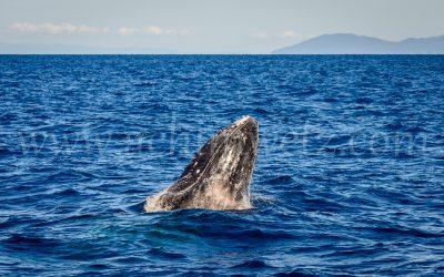 Humpback Whale 2865