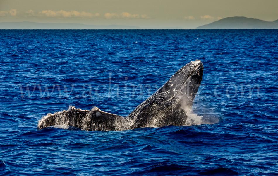 Humpback Whale 2866