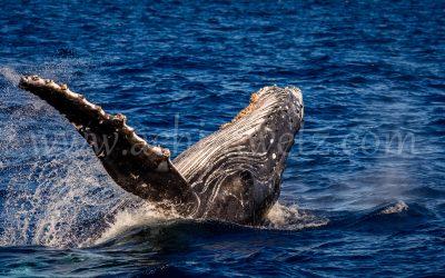 Humpback Whale 2867