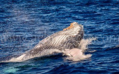 Humpback Whale 2868