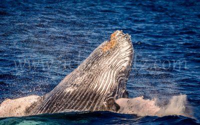 Humpback Whale 2876