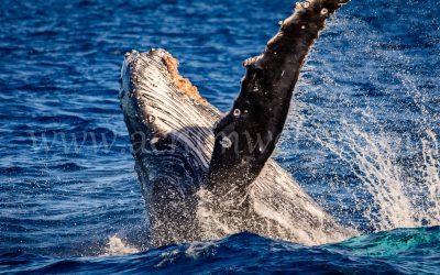 Humpback Whale 2882