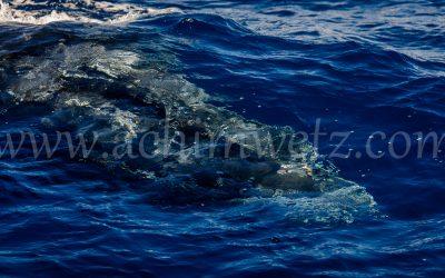 Humpback Whale 2893