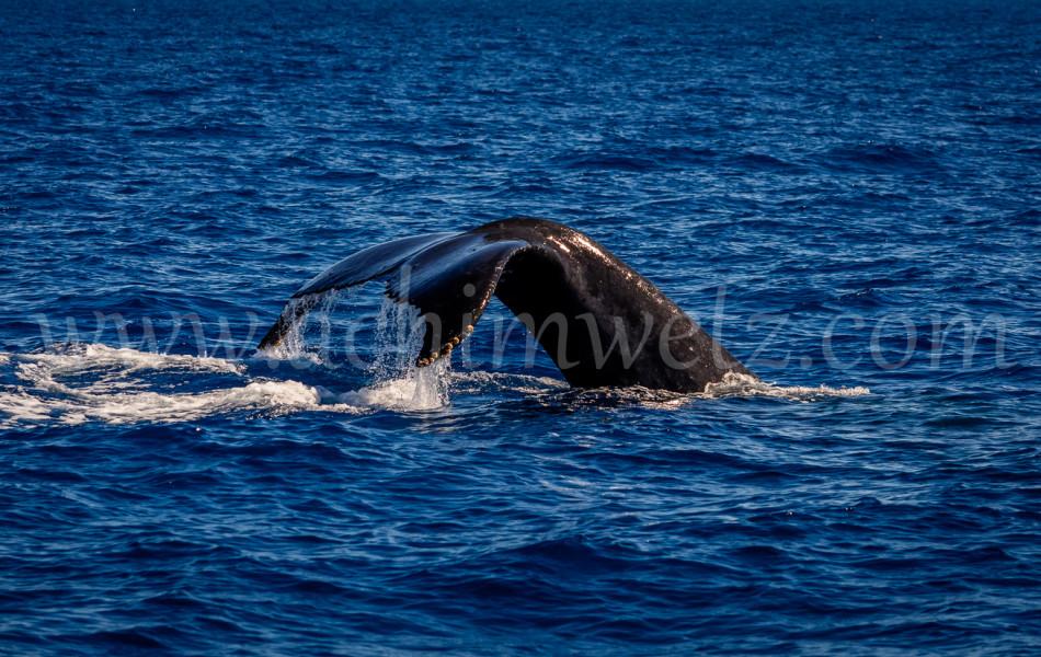 Humpback Whale 2909