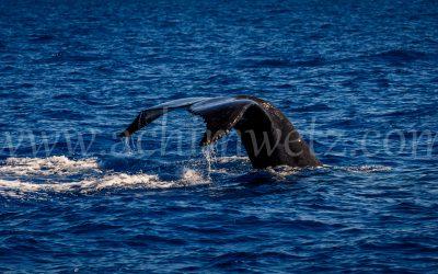 Humpback Whale 2910