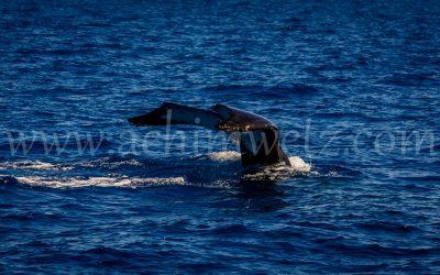 Humpback Whale 2911
