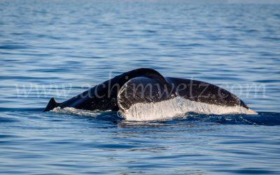 Humpback Whale 2921