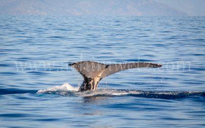 Humpback Whale 2923
