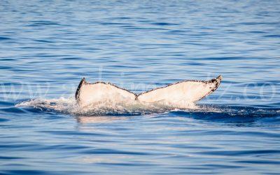 Humpback Whale 2924