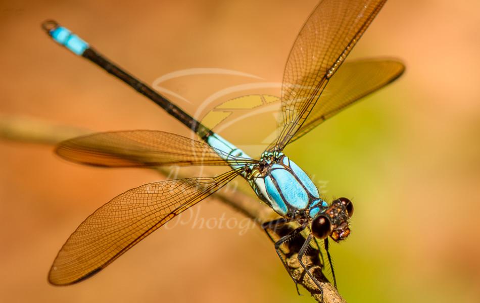 Dragonfly 1004