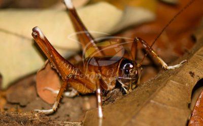 Hedge Grasshopper 1147