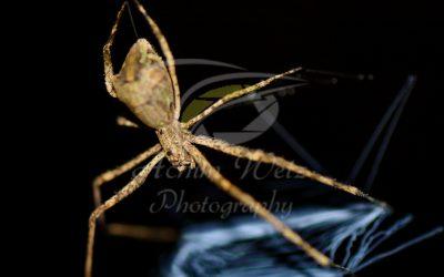 Net-casting Spider  1150