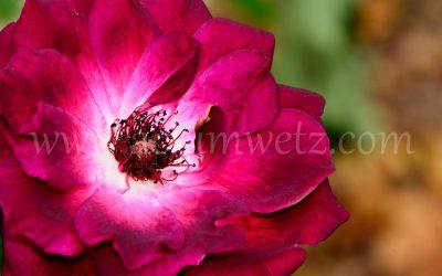 Roses 6341