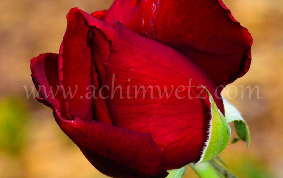 Roses 6342