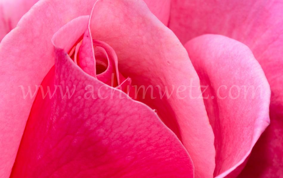 Roses 6345