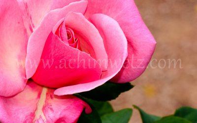 Roses 6346