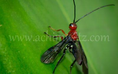 Flying Ant  6351