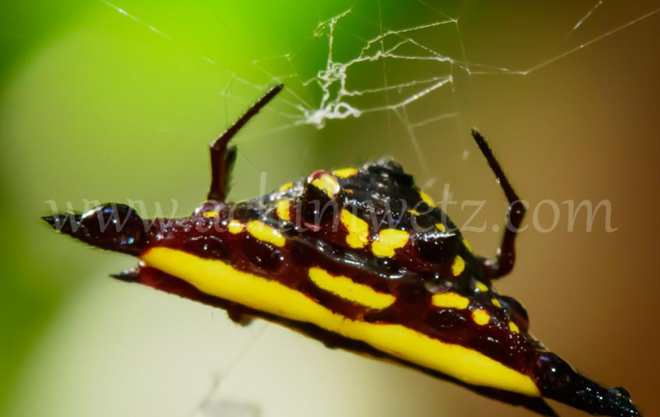 Christmas Spider 6352