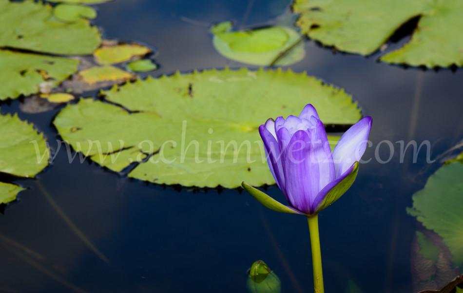 Waterrose 6393