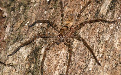 Wolf Spider 6810