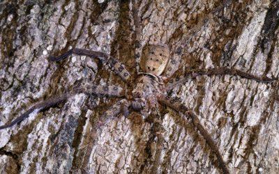 Wolf Spider 6812