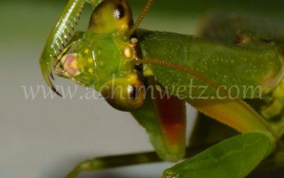 Flying Mantis 8851