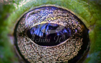 Green Tree Frog 0821
