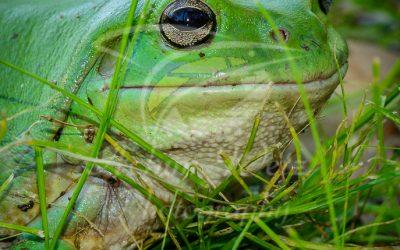 Green Tree Frog 0834