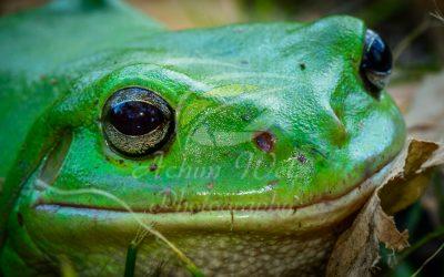 Green Tree Frog 0844